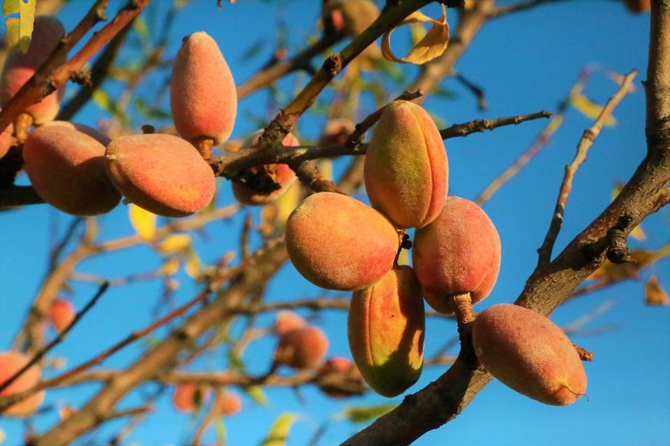 mandle na stromě